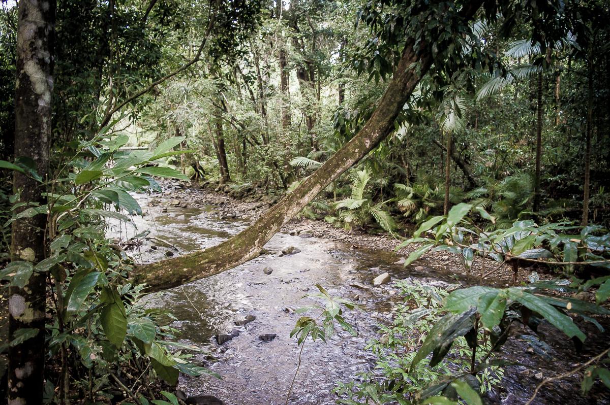 mangrove dans la rainforest de daintree