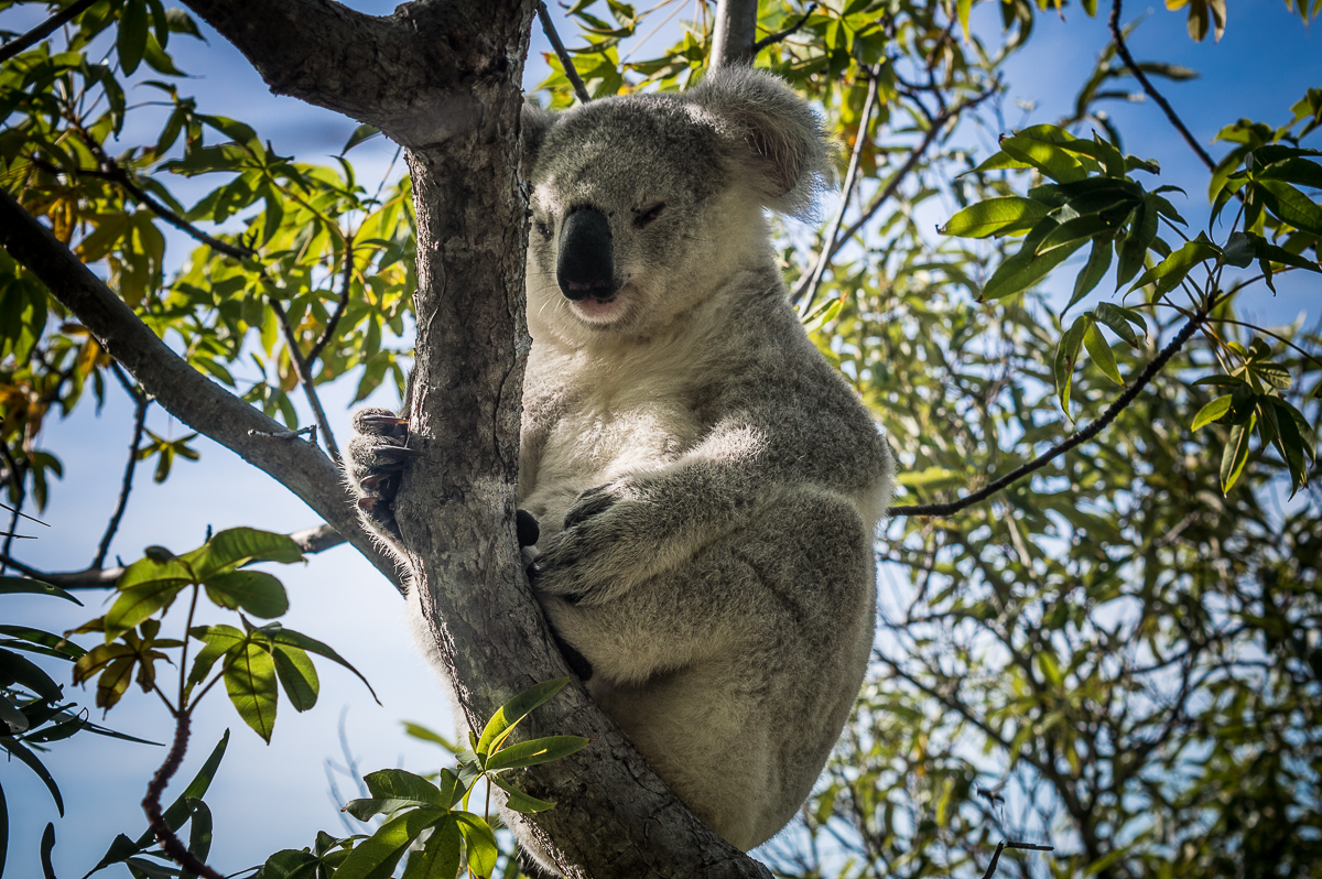koala dans les arbres