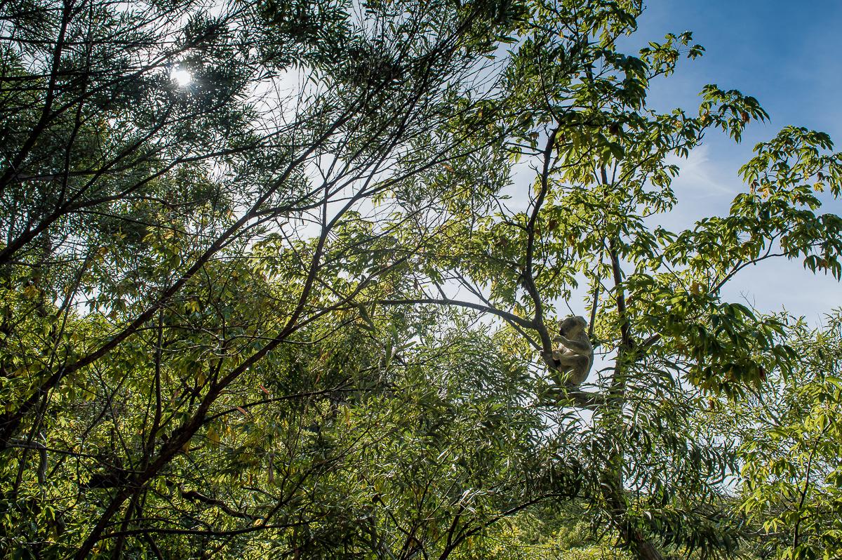 koala dans les arbres a magnetic island