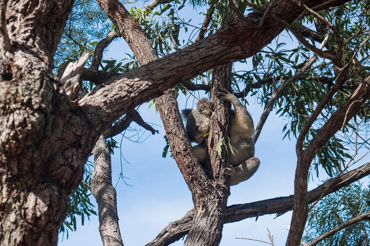 koala qui dort dans un arbre
