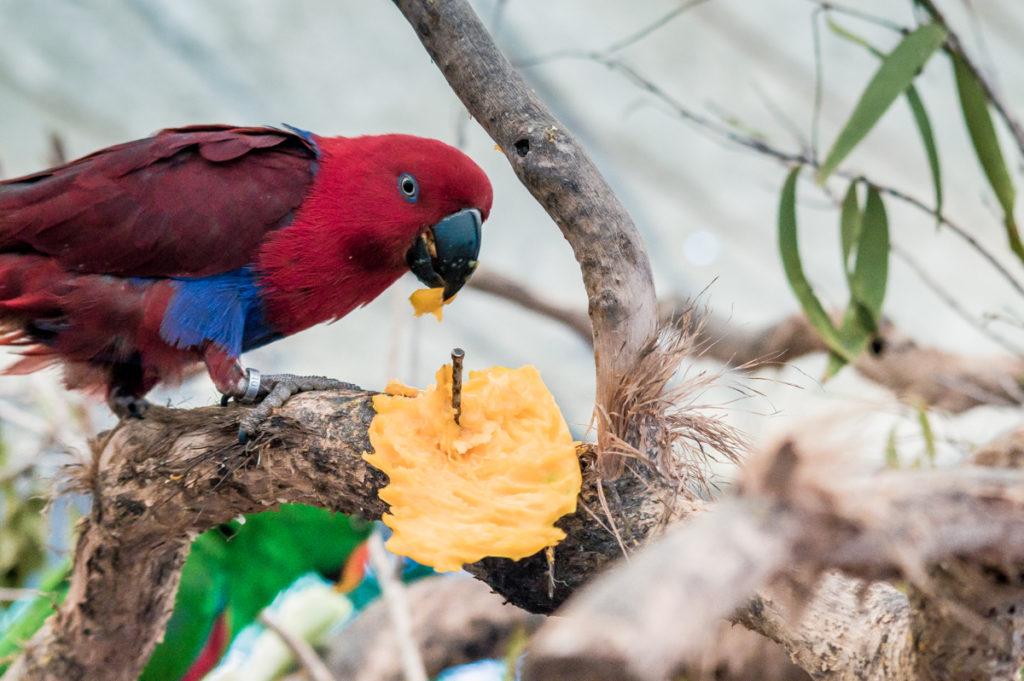 perroquet rouge australien