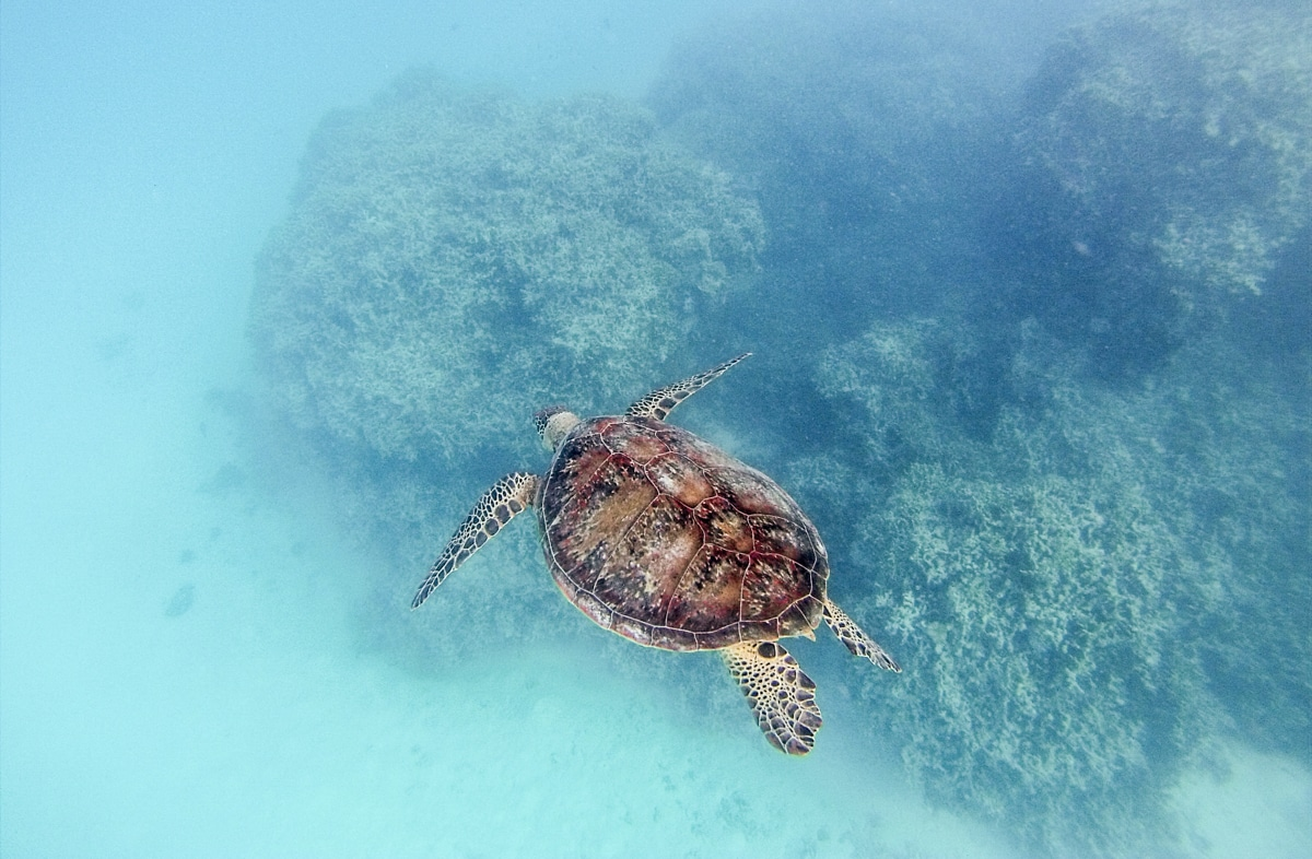 tortue qui nage