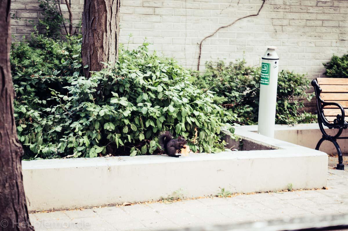 écureuil à toronto