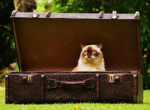 chat persan dans une valise ancienne