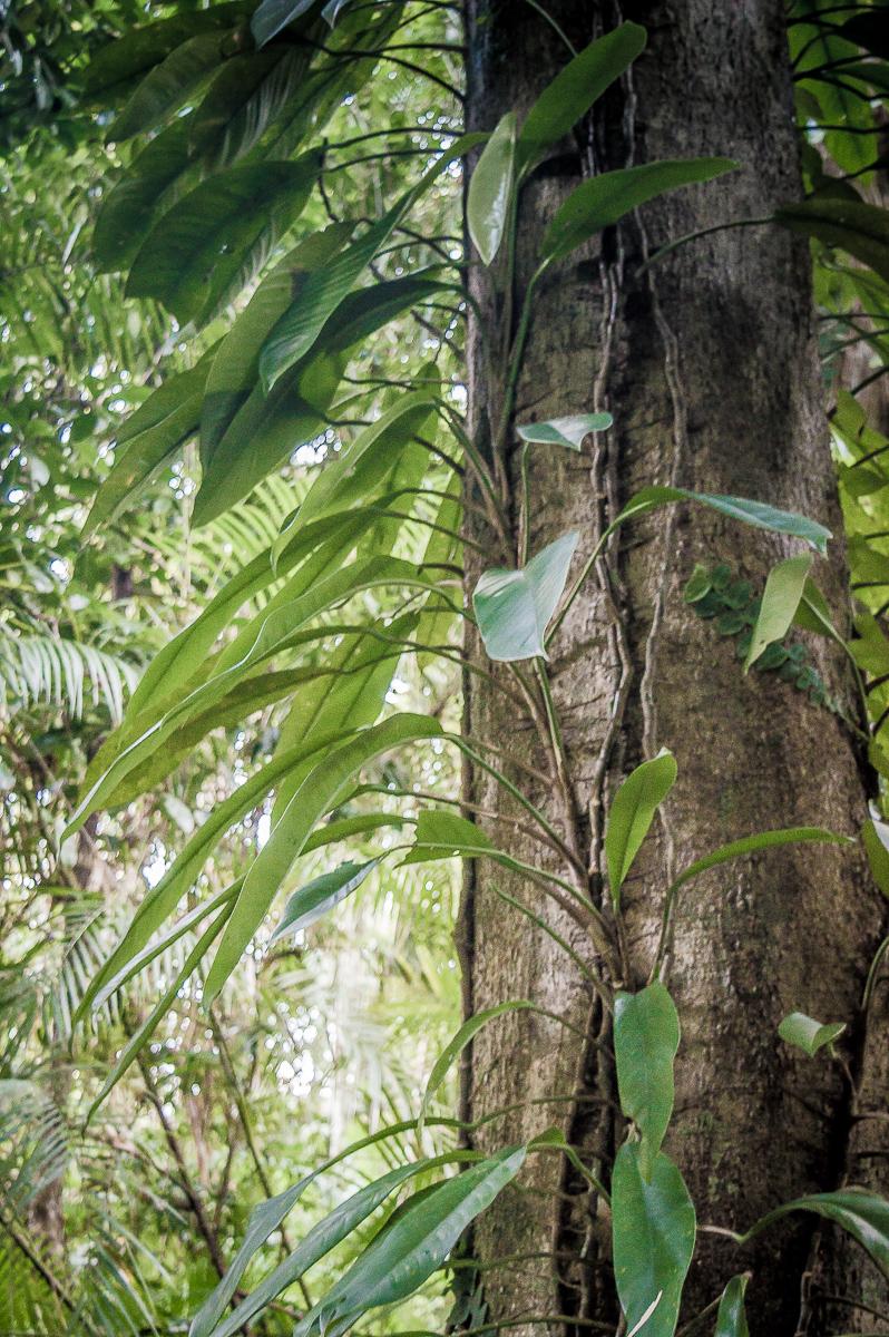 arbres-daintree