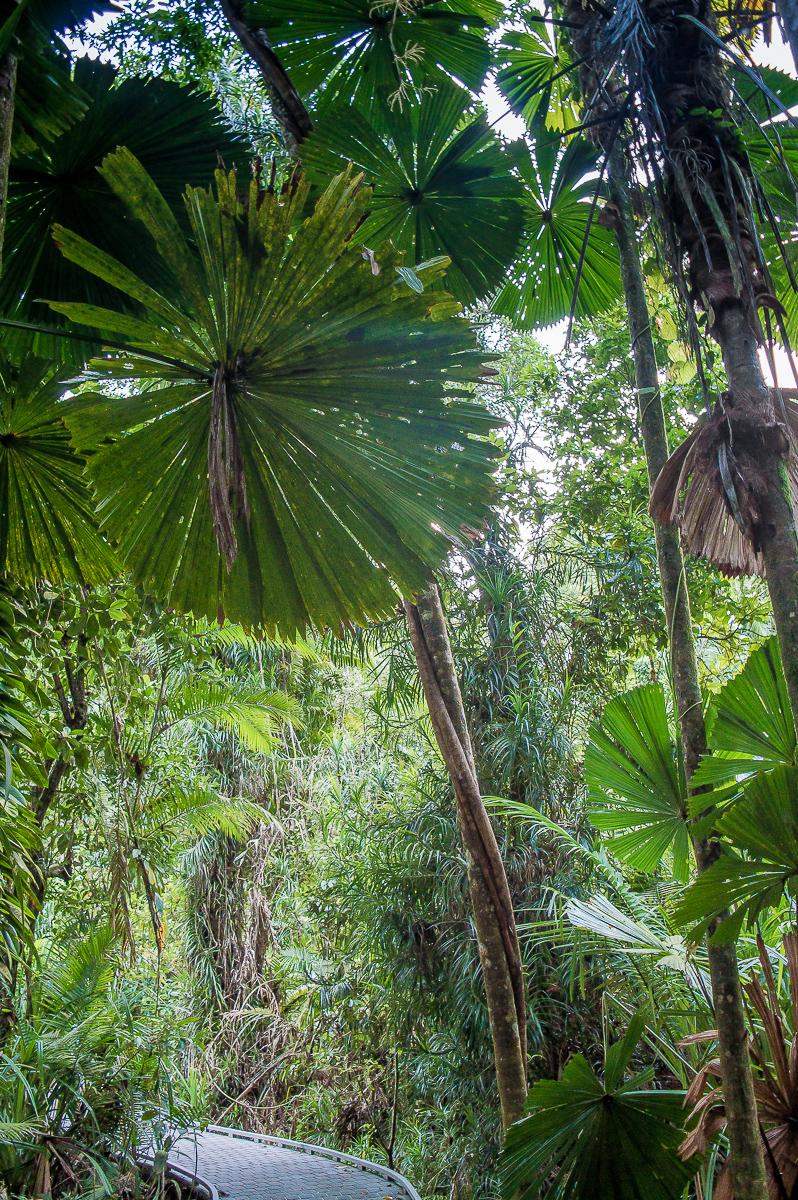 palmiers éventail dans la foret de daintree
