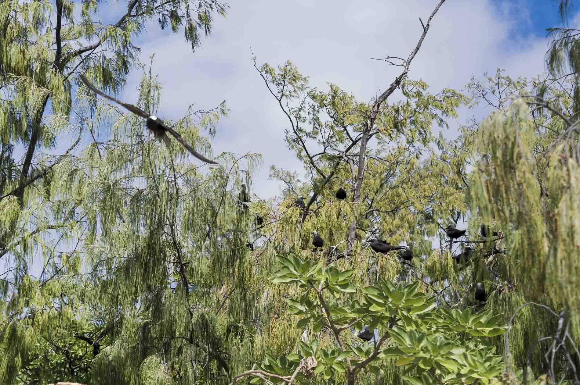 oiseaux sur lady musgrave island