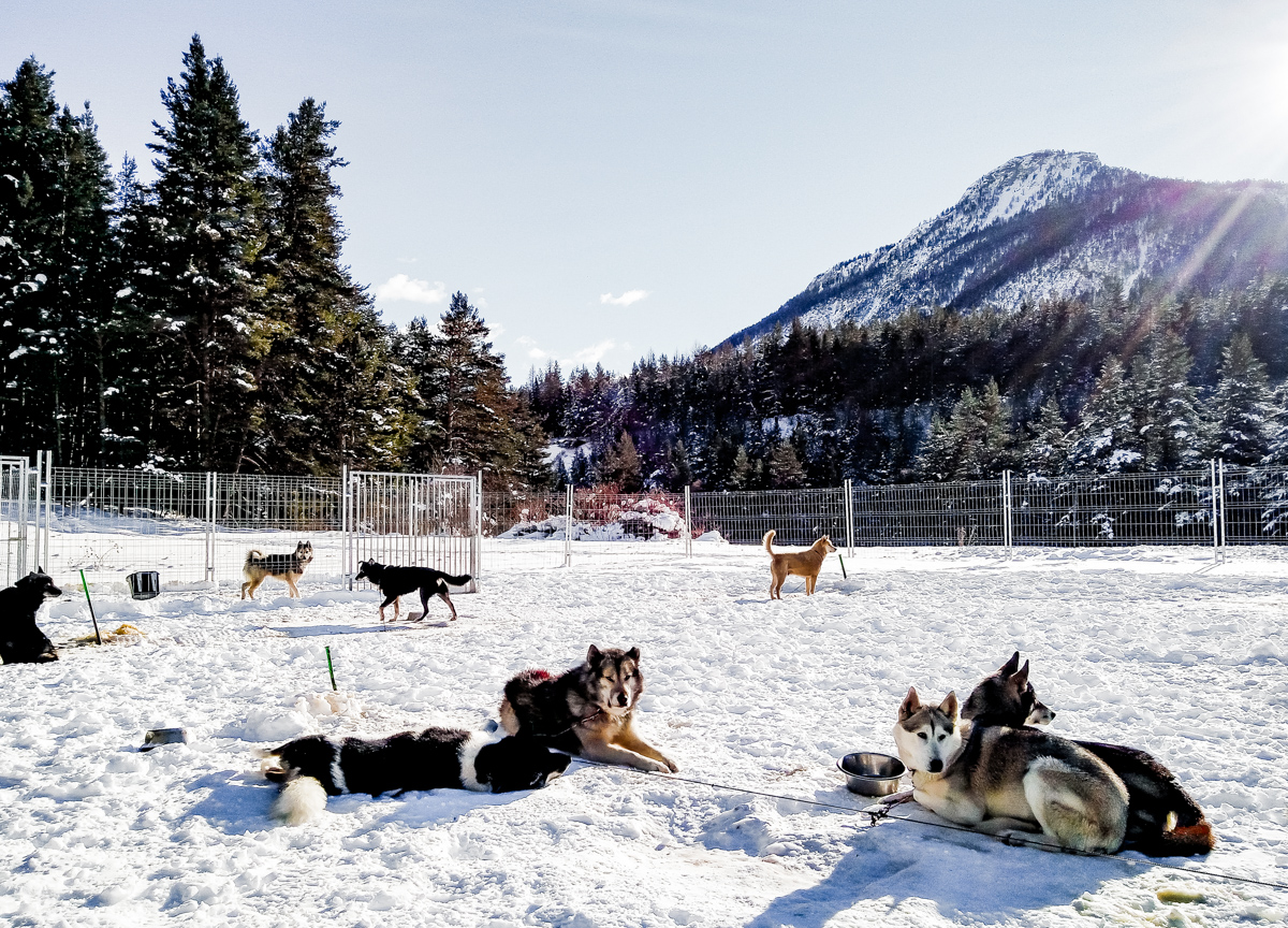 chiens de traîneau à Névache vers Serre-Chevalier