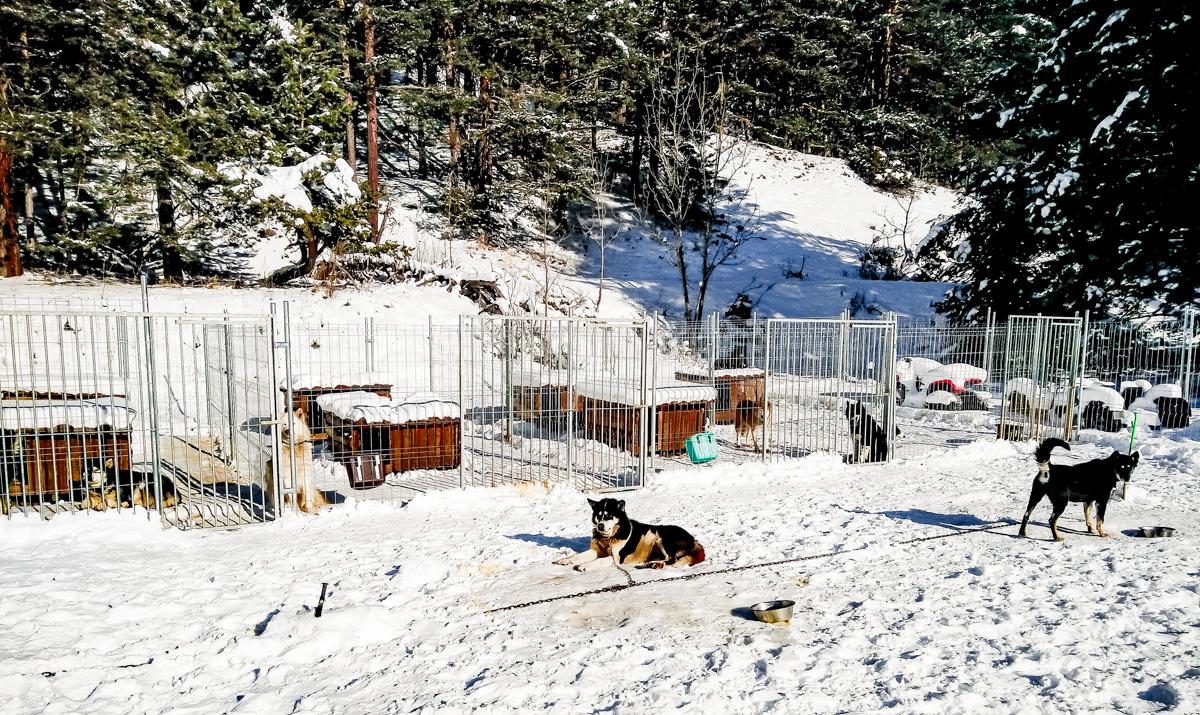 Huskies dans les Alpes