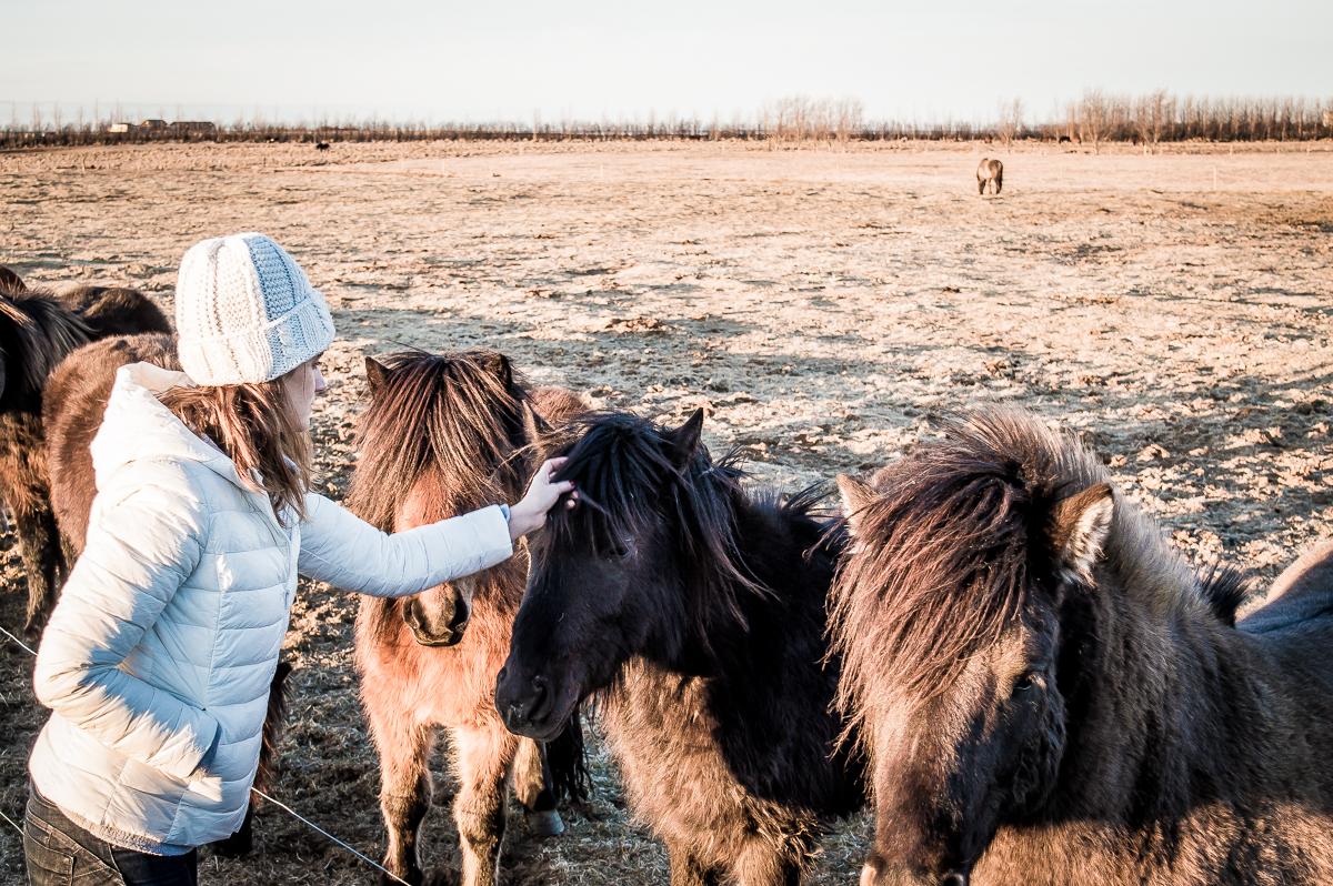 caresser des chevaux islandais
