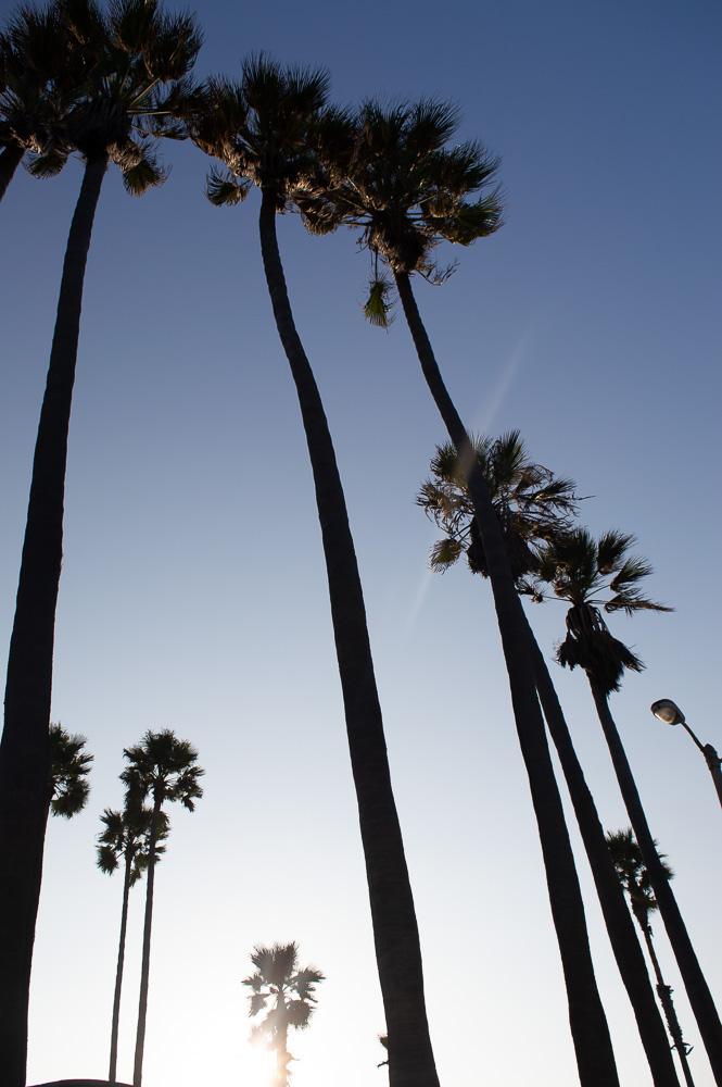 palmiers à venice