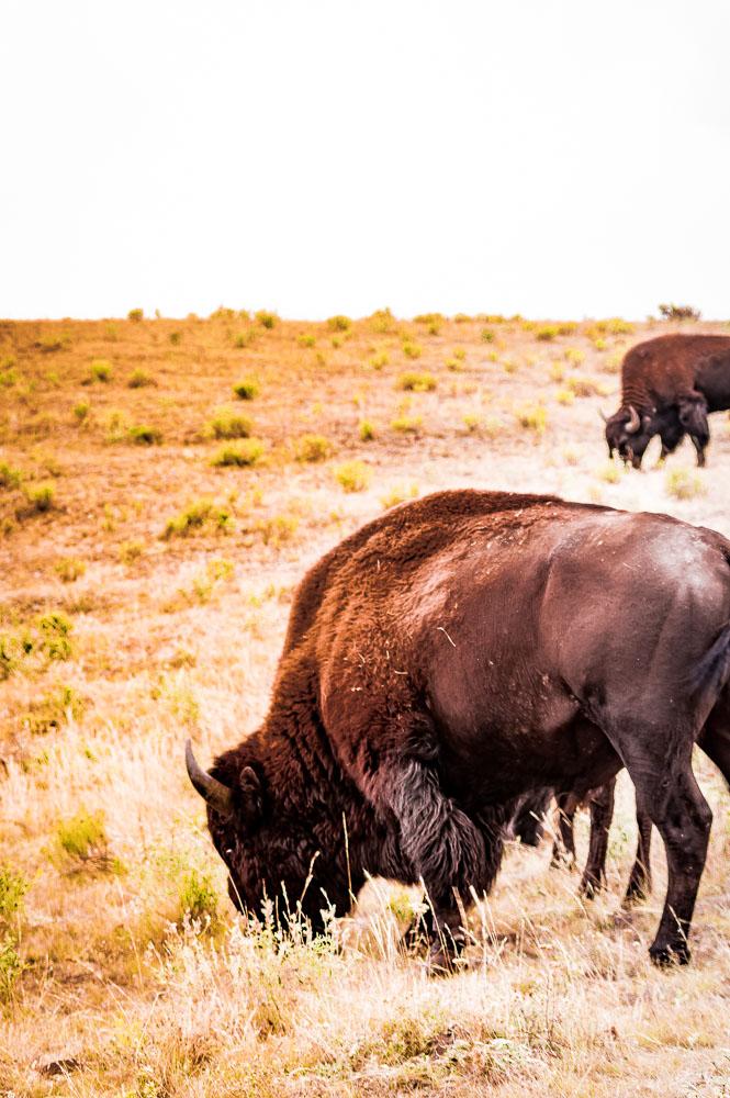 voir un bison dans Lamar Valley