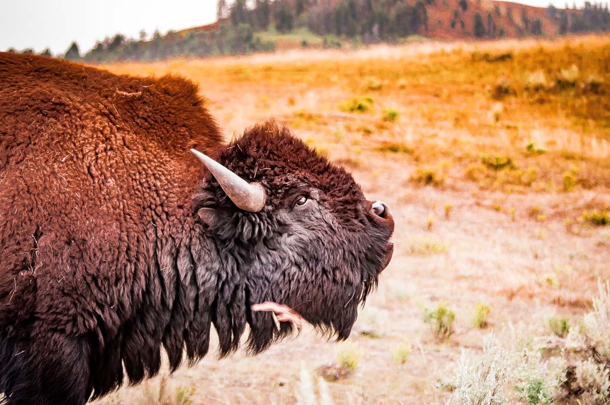 portrait de bison