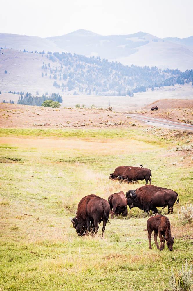 bison dans la Lamar valley