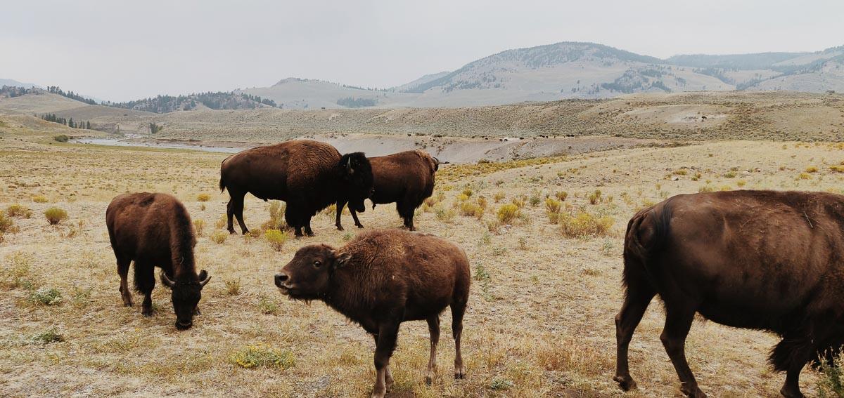jeune bison dans la Lamar Valley