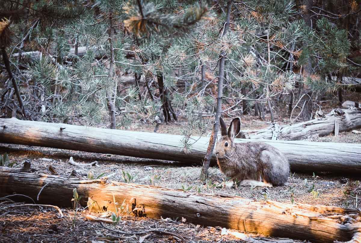 lièvre dans la forêt de Yellowstone