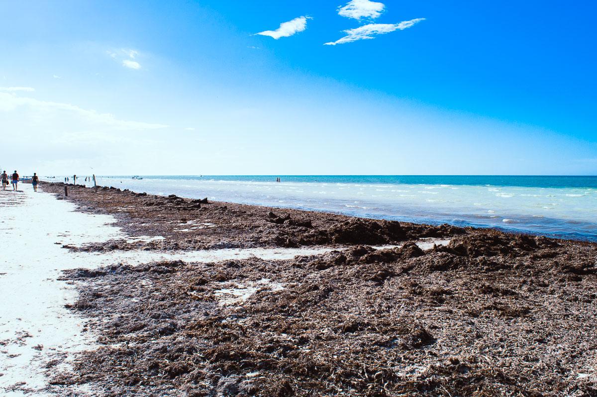 algues sargasses sur la plage d'Holbox