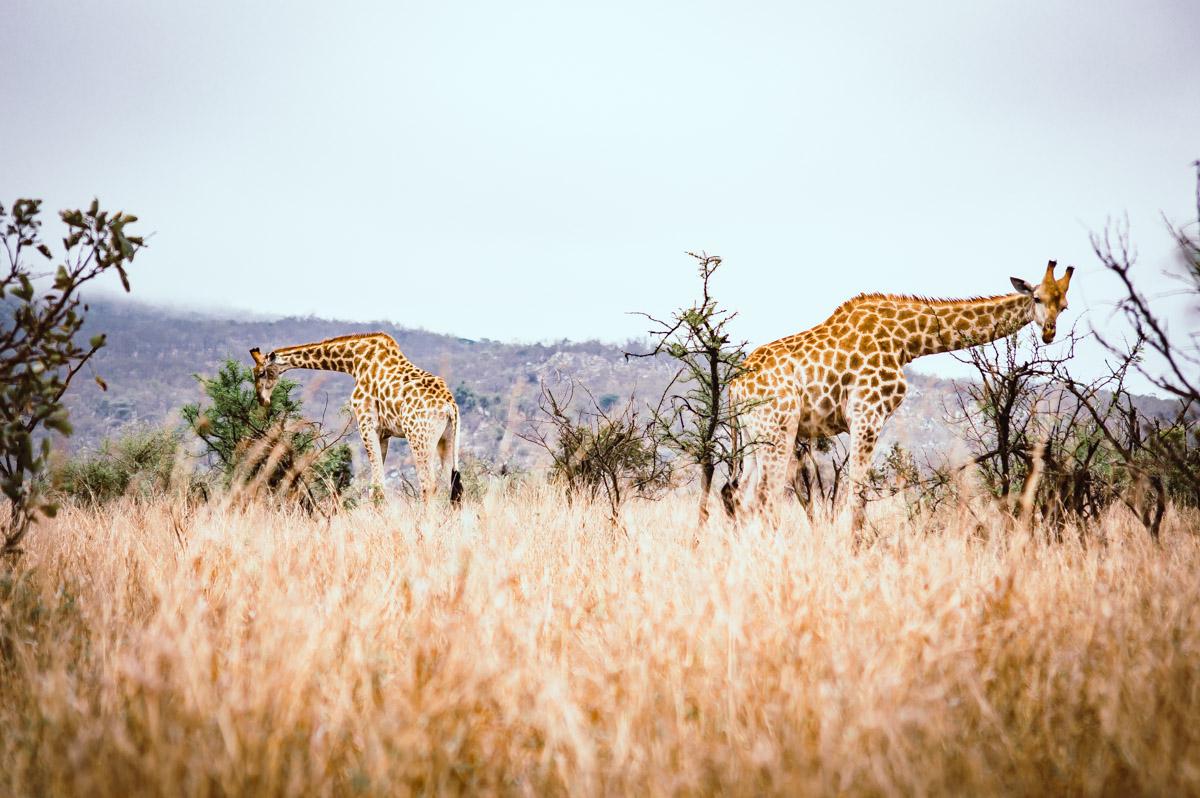 girafes dans le Parc Kruger