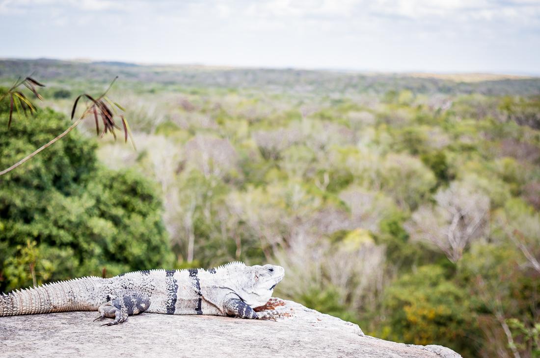 iguane dans la jungle
