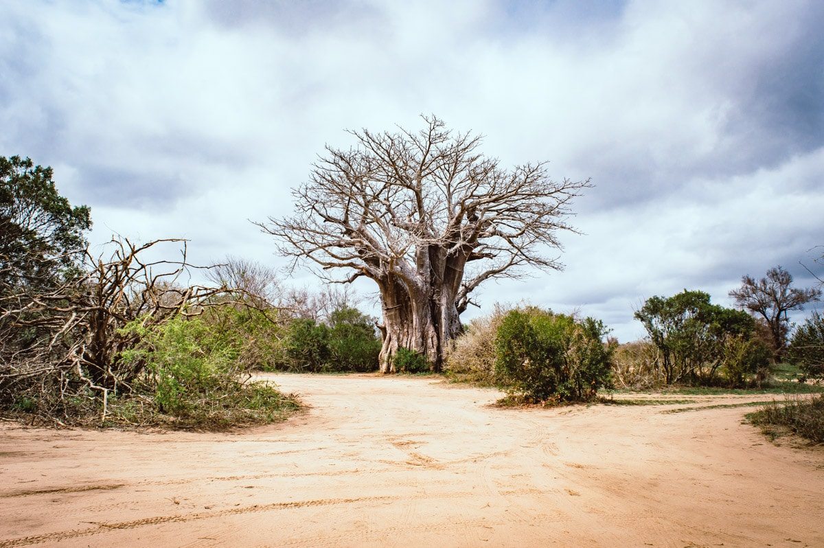 baobab dans le Parc Kruger