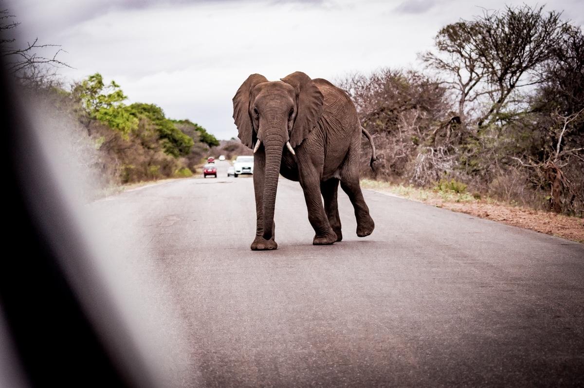voir des éléphants dans le Kruger