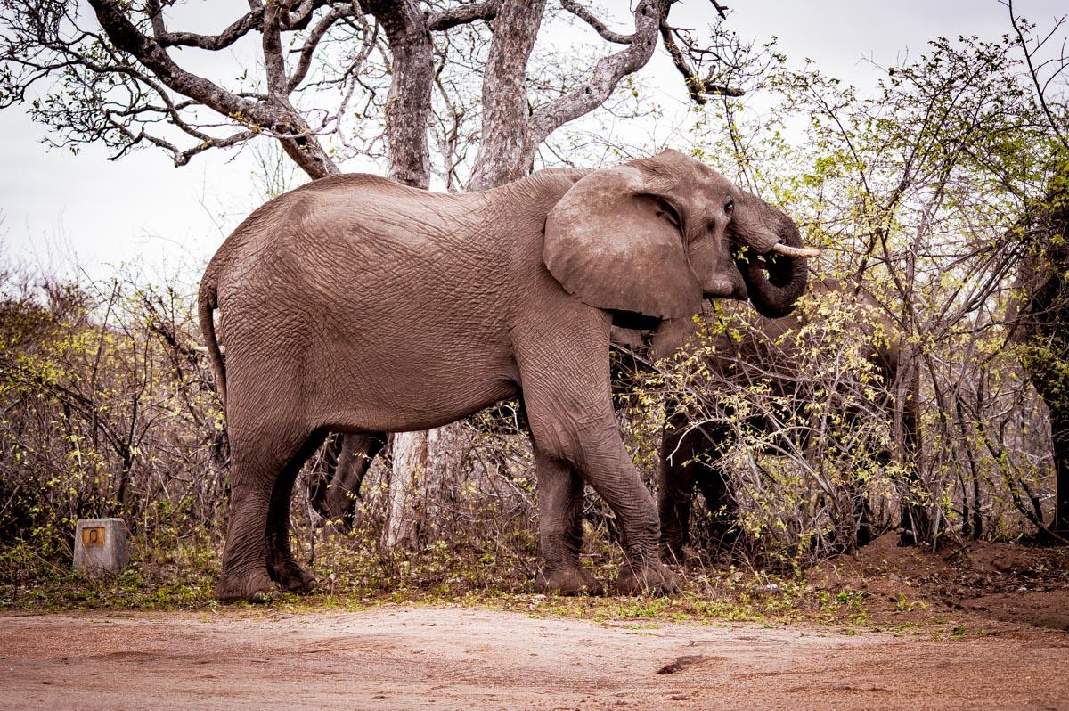 elephants sauvagesdans le kruger