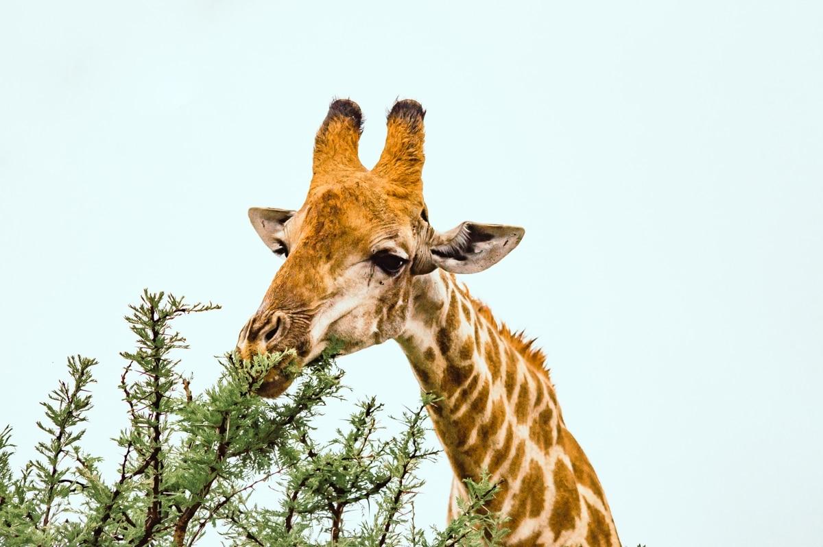 girafe qui mange des feuilles