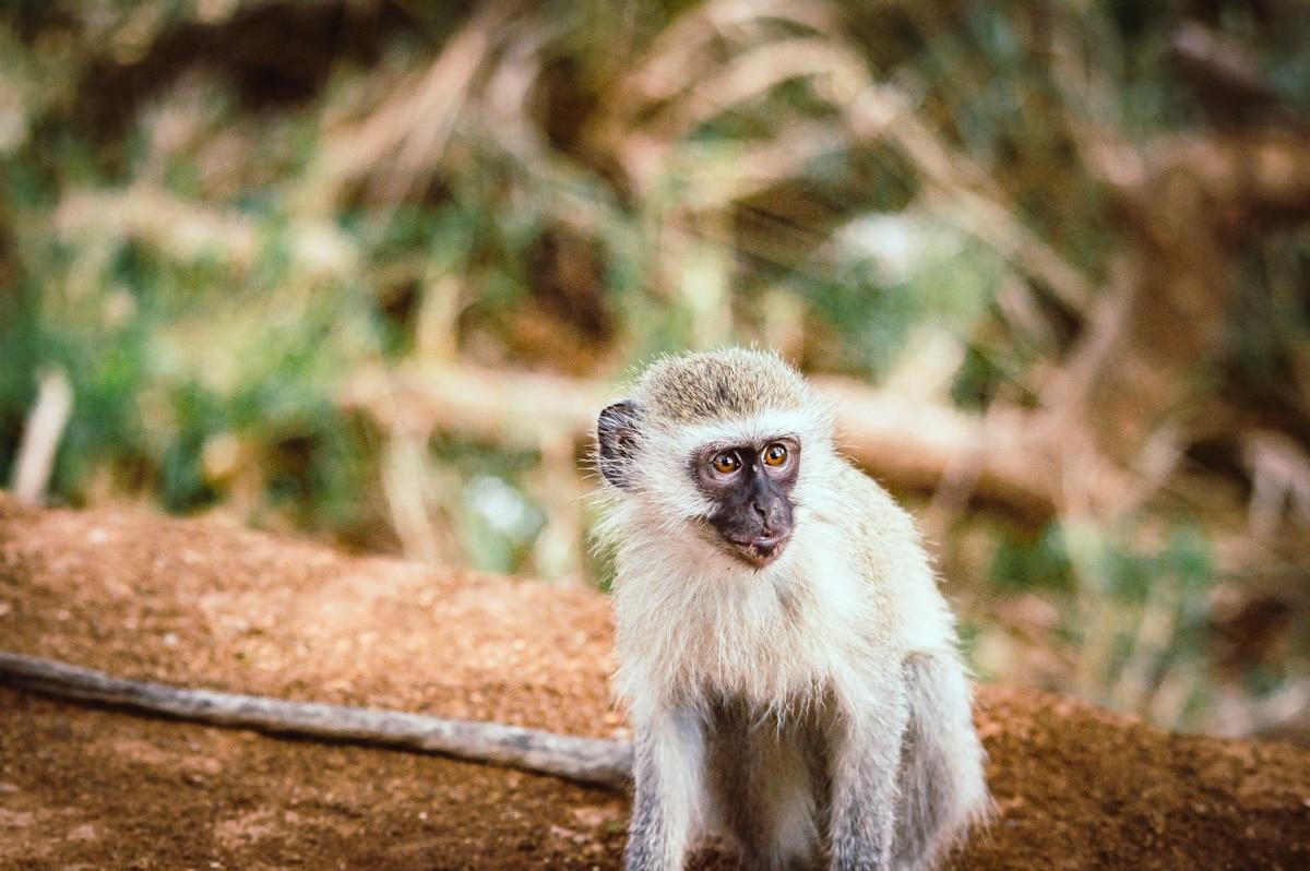 petit singe