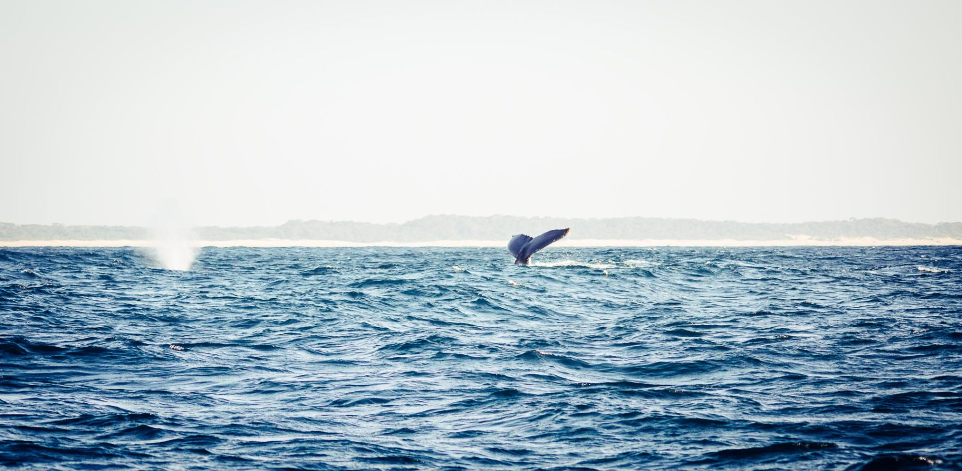 baleine à bosse à Saint Lucia