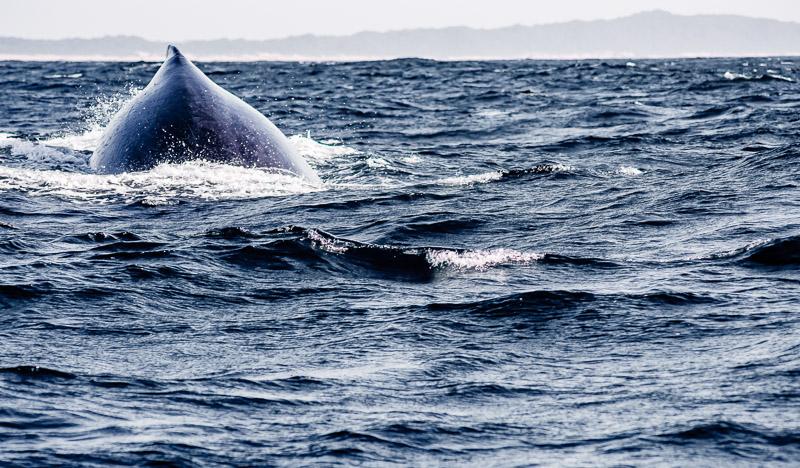 baleine à bosse qui plonge