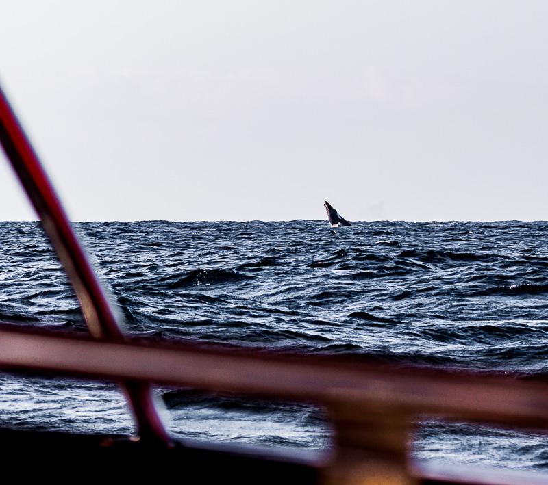 baleine qui remonte respirer à la surface
