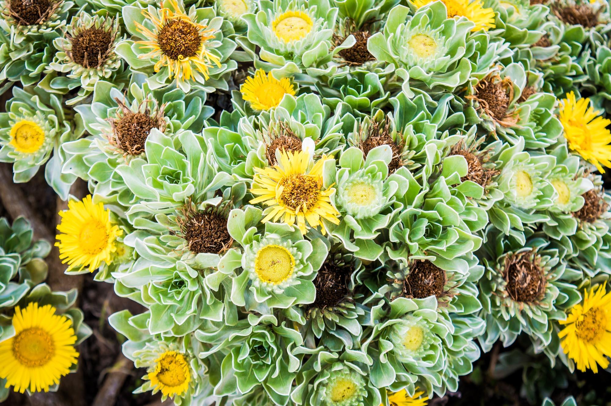 fleurs jaunes de Fuerteventura