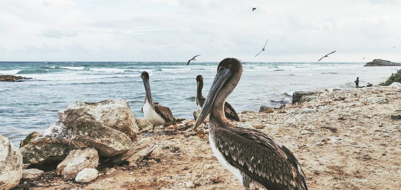 pélicans sur la plage de tulum playa