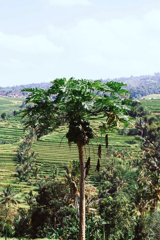 arbres et rizieres de jatiluwih